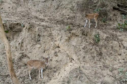 Deer at Jim Corbett National Park