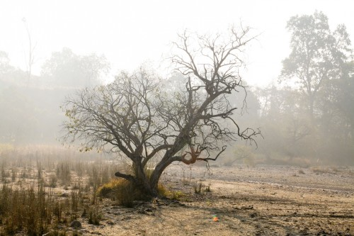 Spooky tree at Jim Corbett