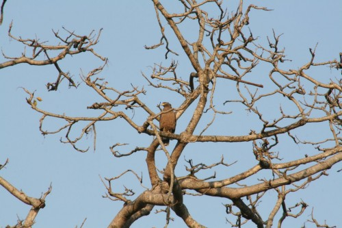 Spotted Eagle at Jim Corbett