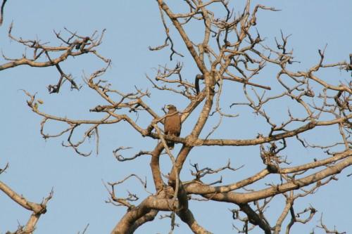 Spotted Eagle at Jim Corbett