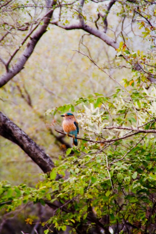 Indian roller (blue jay), Animal, Bird, blue jay, indian roller, Rajasthan, Ranthambore, Ranthambore National Park, travel, travel photography, Wildlife, wildlife photography, Photographer Anurag Jain
