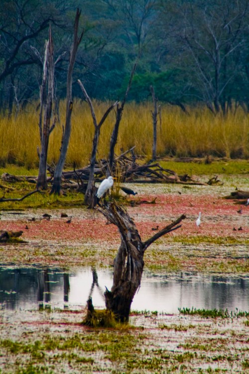 Paradise on earth, Bird, crane, ducks, Nature, Paradise, peacock, Rajasthan, Ranthambore, Ranthambore National Park, Top 10, travel, travel photography, Wildlife, wildlife photography, Photographer Anurag Jain