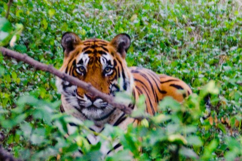 The stare of a tiger, Animal, Forest, Jungle, Rajasthan, Ranthambore, Ranthambore National Park, Safari, Tiger, Top 10, travel, travel photography, wallpaper, Wildlife, wildlife photography, Photographer Anurag Jain
