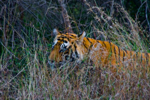Tiger at Ranthambore national park, Animal, Rajasthan, Ranthambore, Ranthambore National Park, Safari, Tiger, wallpaper, Wildlife, wildlife photography, Photographer Anurag Jain