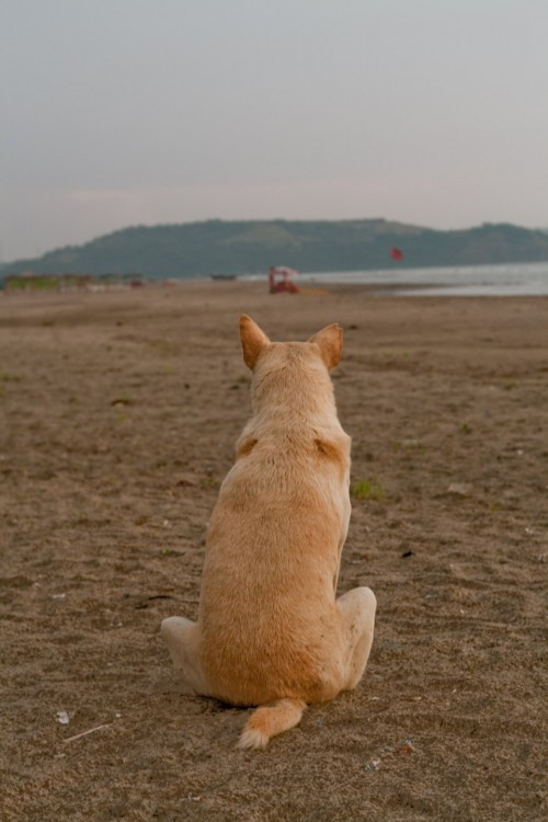 Dog overlooking sea
