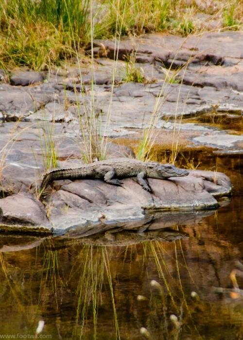 Crocodile at Ranthambore