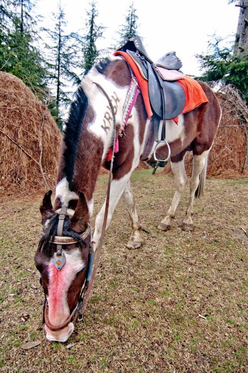 Horse at Khajjiar