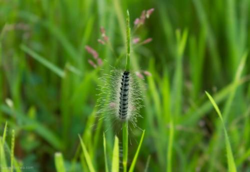 Caterpillar on a blade of grass